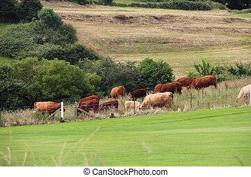 vee, grazen, op, bouwland