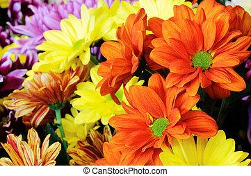 veelkleurig, bloemen, gerber