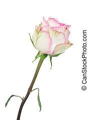 veelkleurig, mooi, roos