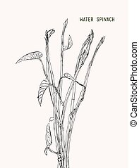 Vegetable and Herb, Vector Illustration of Water Spinach,...