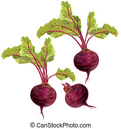 Set of relistic vegetables beets with green leaves isolated on white background, vector