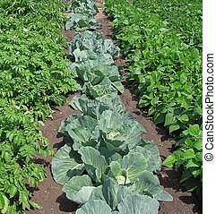 Cabbage, beans & potatoes growing in neat rows.