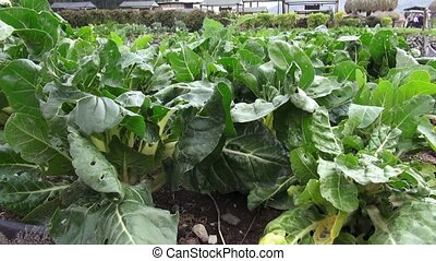 Vegetable Garden, Food Crops
