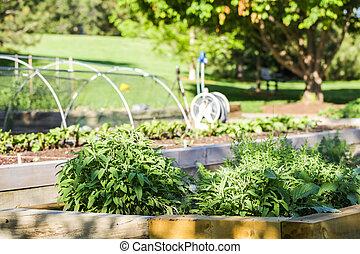 Vegetable garden - Early summer in urban vegetable garden.