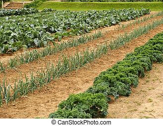 Vegetable garden - Vegetable rows growing in garden