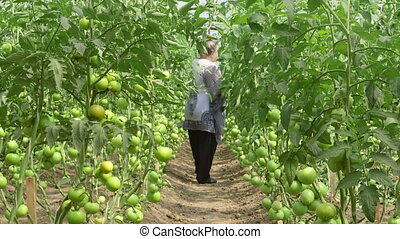 Vegetable Greenhouse - Female gardener cultivates tomatoes...