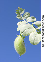 chickpea - Vegetable plant chickpea seed with its small...
