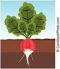 Vegetable radish in land - The Ripe vegetable radish in...