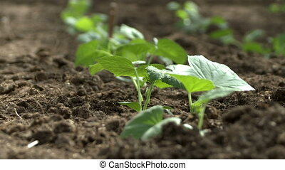 Vegetable seedling in a bed video on a windy day
