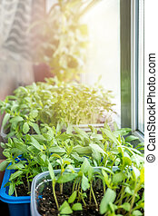 Vegetable seedlings for urban garden and vegetable garden grow in a plastic container on a window in the ground on a Sunny day.