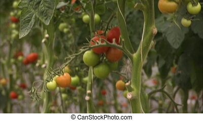 Vegetables and tomatoes - A medium shot of vegetables and...