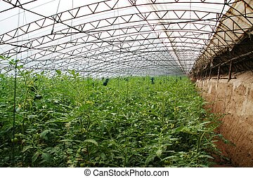 vegetables greenhouse