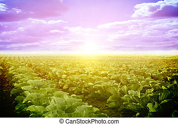 Vegetables growing on a field in summer