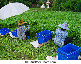 Vegetables harvesting - Certified Good Agricultural Practice...