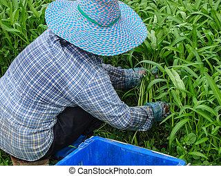 Vegetables harvesting , close up - Vegetable grower is...