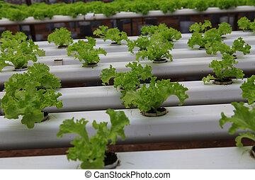 vegetables hydroponics farm, Cameron Malaysia