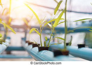 Vegetables Hydroponics farming in farmland background. Organic food and Healthy concept. New technology and Modern agriculture. Smart farming theme. Nature and Environment theme.