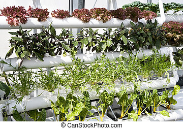 vegetables hydroponics cultivation in greenhouses