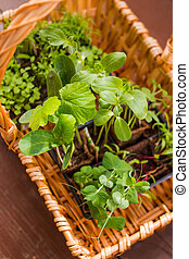 Vegetables Seedlings in peat tablet pot isolated Small plant of cucumber and pea. Germination of seeds in the garden. caring for seedlings in the spring and preparation for transplantation