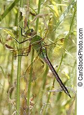 vegetación, paliza, libélula, verde, darner