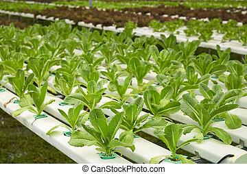 vegetal, en, hidroponia