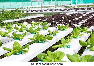 vegetal, hydroponics, fazenda