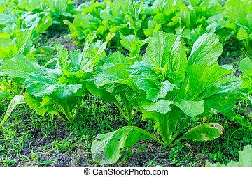 vegetal, planta, col rizada, jardín