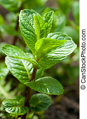 peppermint - vegetated new peppermint with fresh green ...