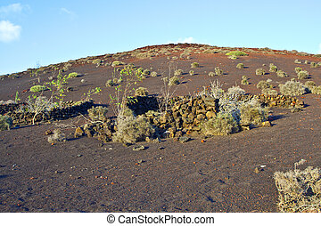 vegetation in volcanic area in Lanzarote