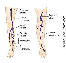 veias principais, de, a, perna