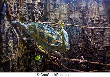 Veiled beautiful Chameleon walking on a stick.