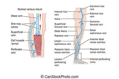 veines, jambe