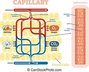 vektor, abbildung, anatomisches diagramm, flow., blut, schematisch, kapillargefäß