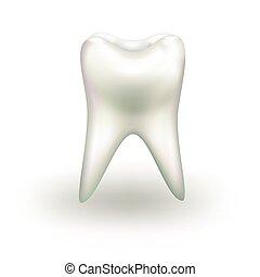 vektor, freigestellt, weißer zahn, hintergrund., realistisch