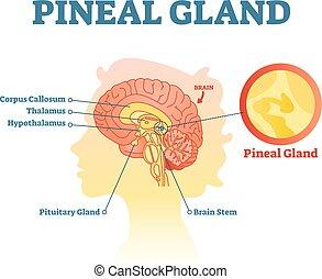vektor, menschliche , anatomisch, kreuz, drüse, abschnitt, pineal, abbildung, brains., diagramm