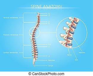 vektor, rygg, medicinsk, anatomi, infographic, mänsklig