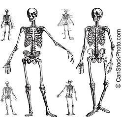 vektor, skelett