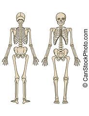 vektor, skelett, mänsklig