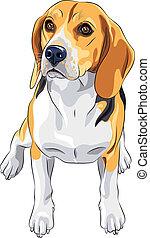 vektor, skizze, hund, beagle, rasse, sitzen