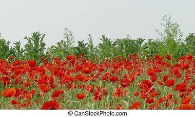 veldbloemen, rode poppy