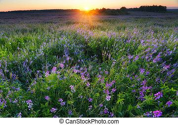 veldbloemen, zonopkomst, viooltje