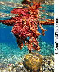 velenoso, alghe, mare, rosso