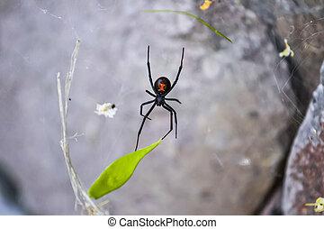 velenoso, nero, ragno, vedova