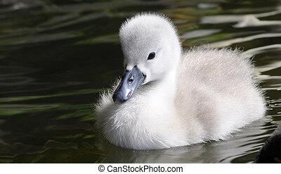 velloso, bebé, cisne, polluelo