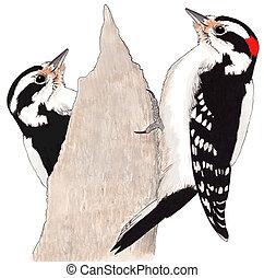 velloso, pájaro carpintero