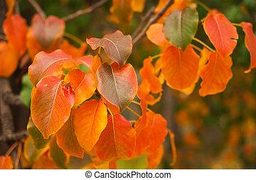 velmi, mělký, jasný, list, podzim, ohnisko, den, červeň