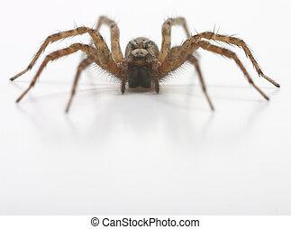 velu, brun, araignés