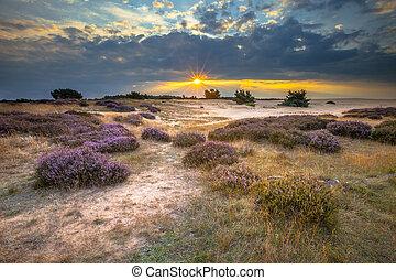 veluwe, sonnenuntergang, aus, heathland, mit, heide