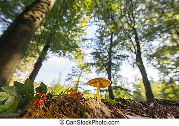 velvet bolete in forest with high trees
