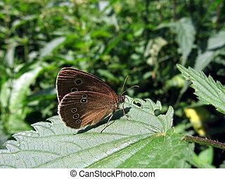 Velvet butterfly on leaf